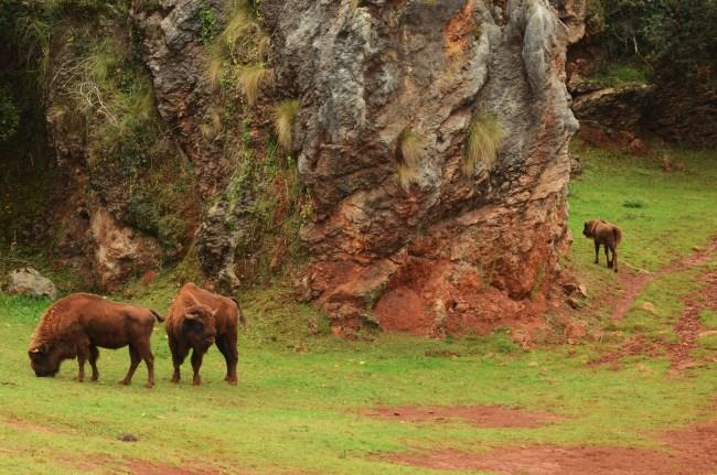 Bisontes Cabarceno