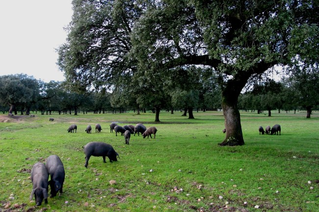 Cerdo dehesa extremadura