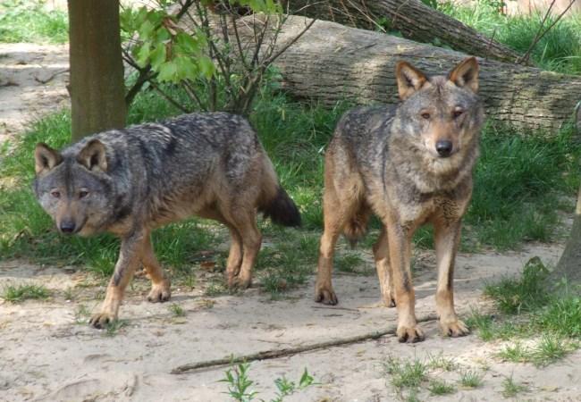 lobo iberico asturias