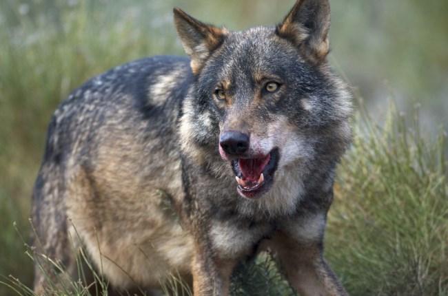 lobo iberico zamora